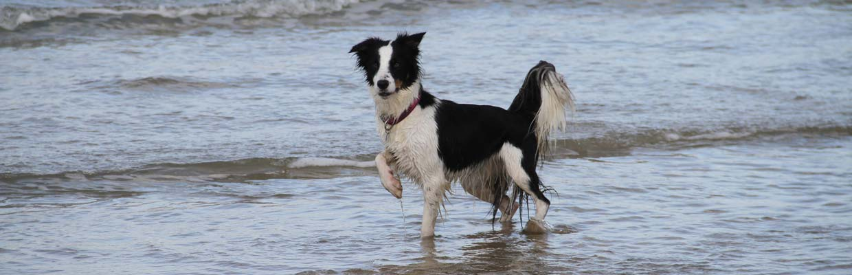 Freyasway Border Collie Aeracura on Saunton beach, Devon