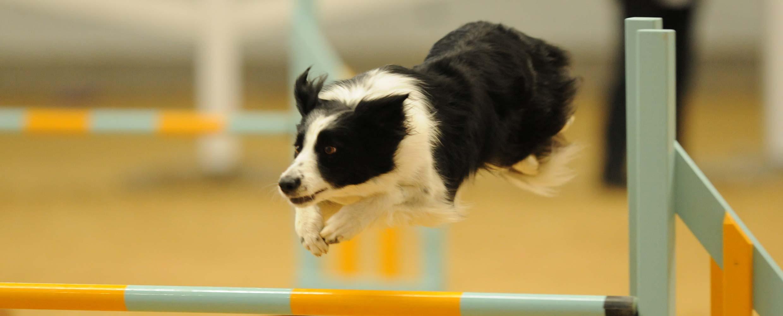 Ostara the Border Collie jumping over a hurdle