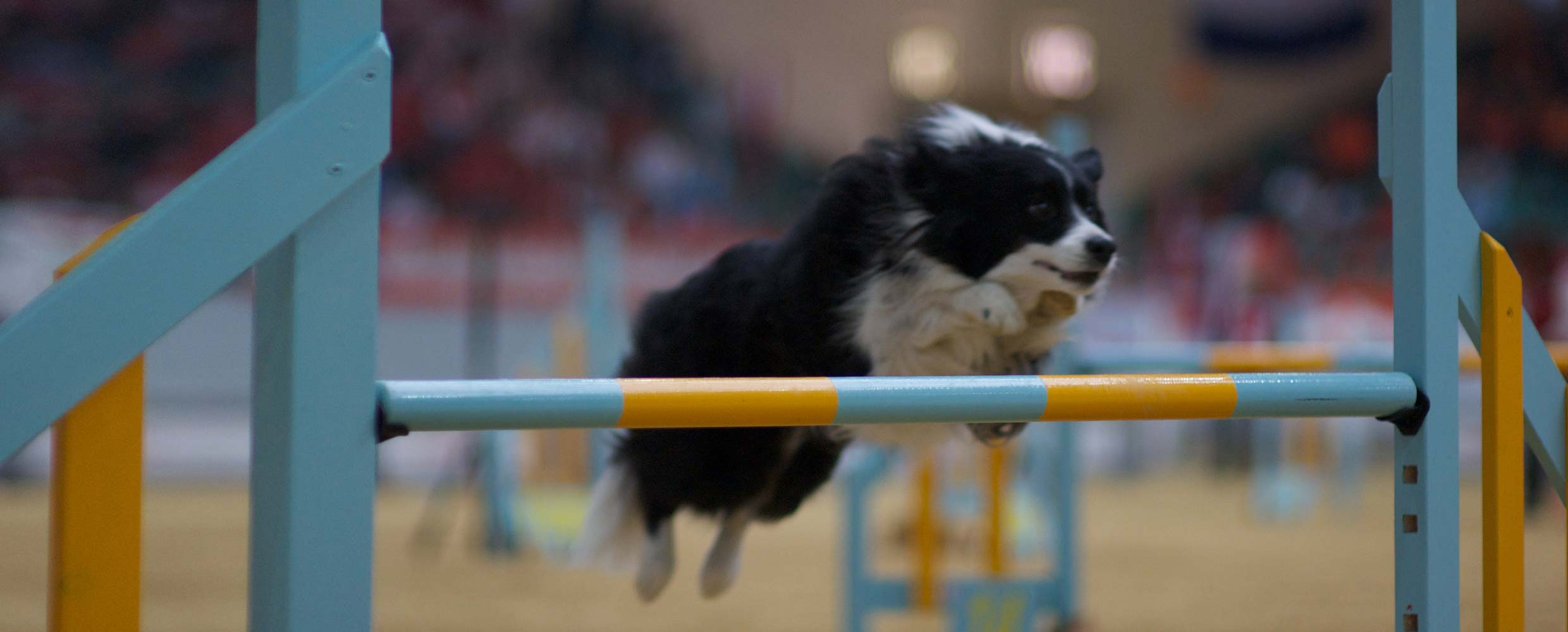 Freya the Border Collie jumping at the FCI World Championships 2010