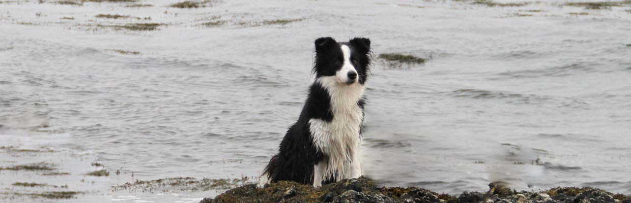 Freyasway Border Collie Aradia at a loch in Scotland