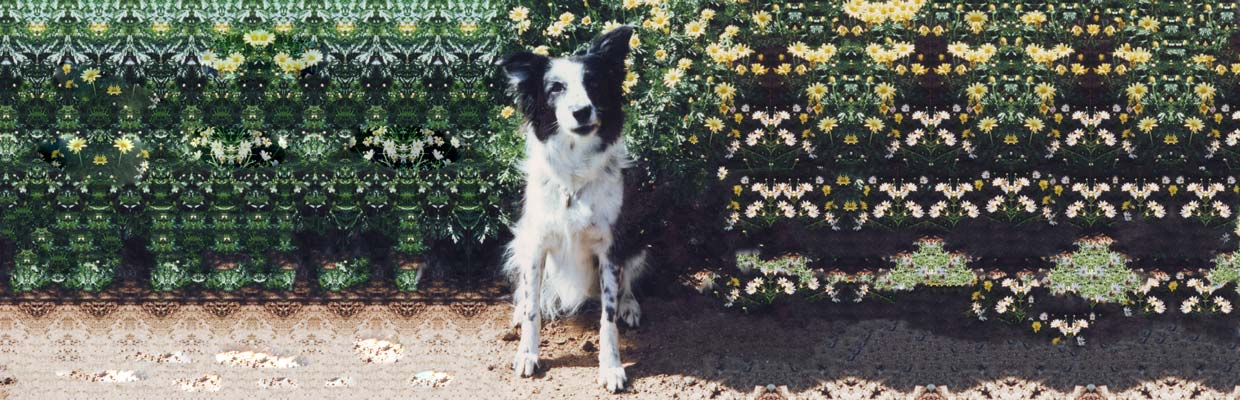 Freyasway Candice the Border Collie in a sit stay in front of flowers