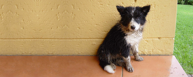 Freya Border Collie puppy on terracota patio