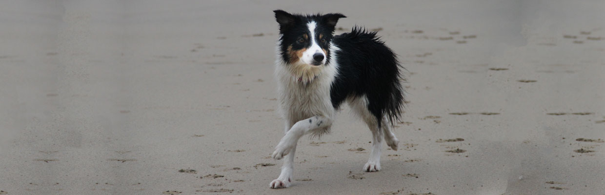 Freyasway Border Collie Disco on the beach in Devon