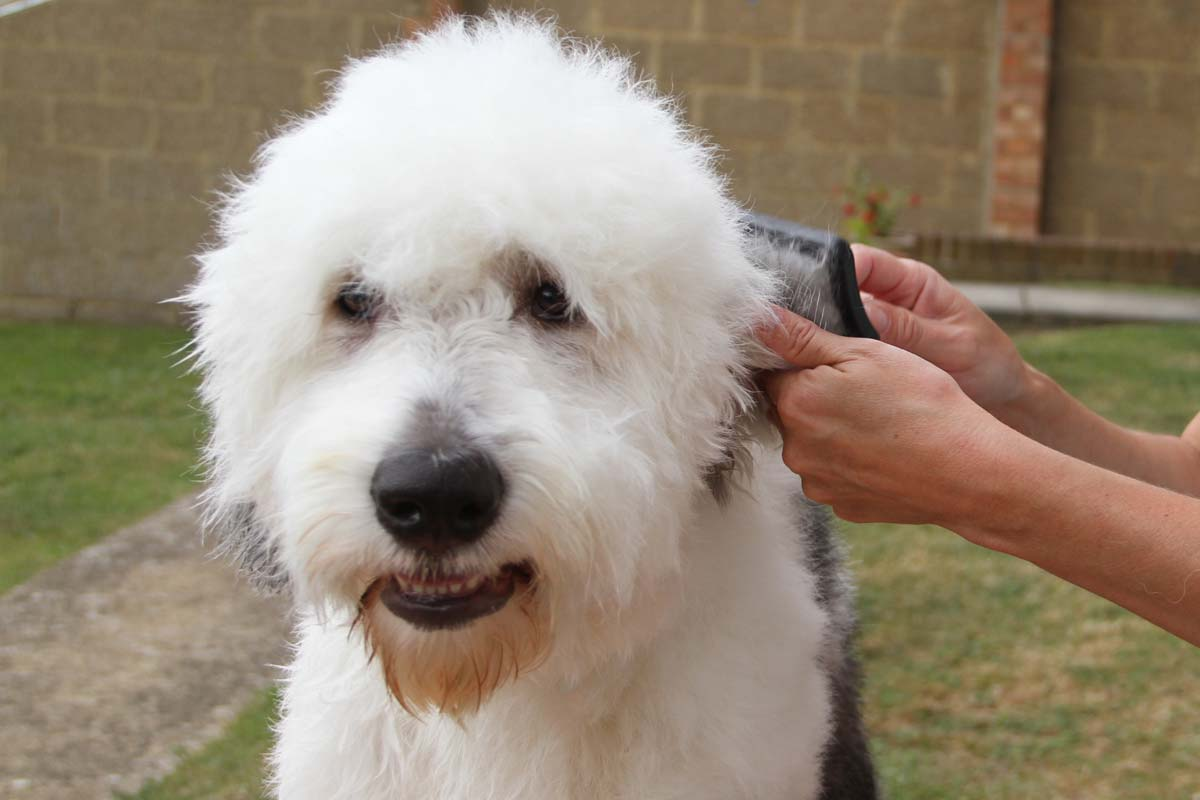 Alison Roets dog groomer grooming an Old English Sheepdog