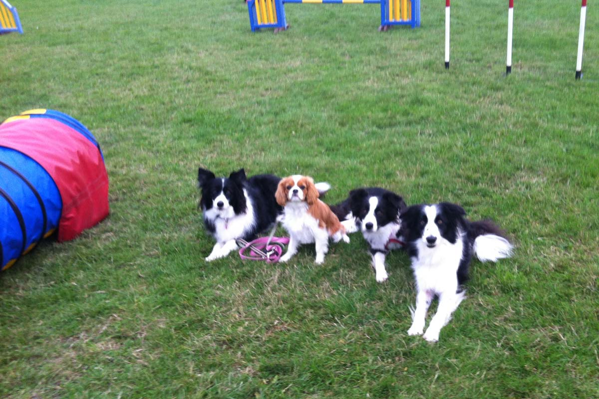 Cavalier and three Border Collies