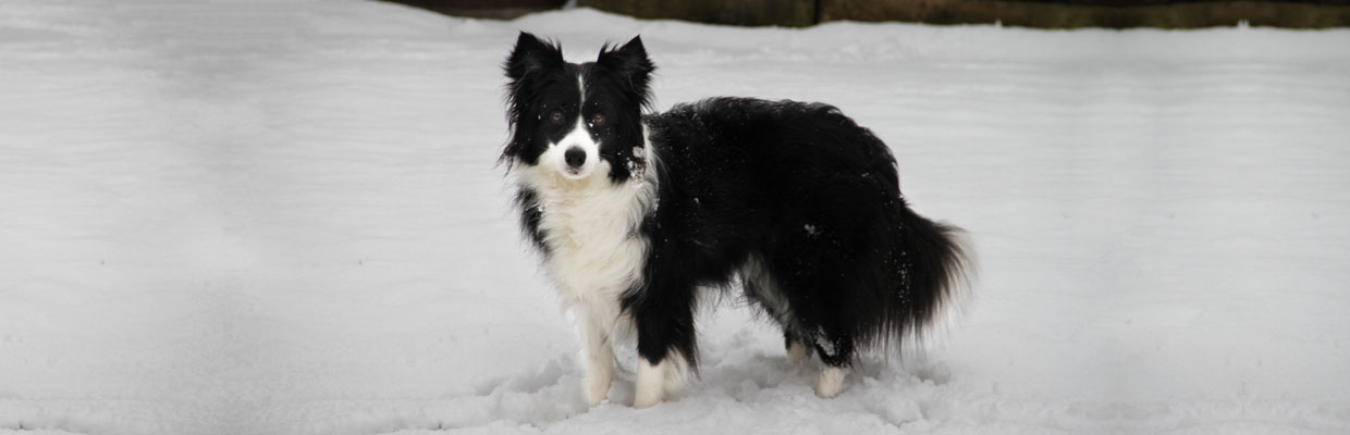 Freyasway Freya the Border Collie posing in the snow, Caversham, England
