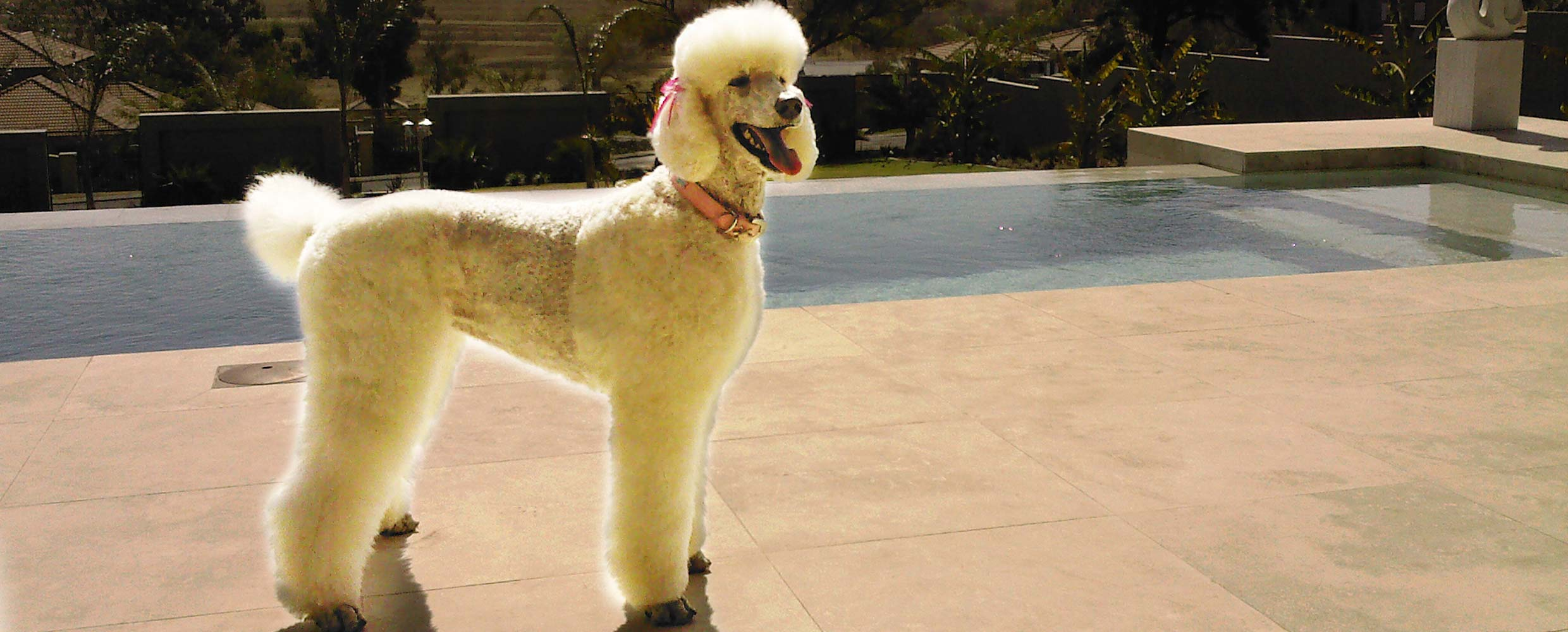 Poodle at swimming pool groomed by Alison Roets