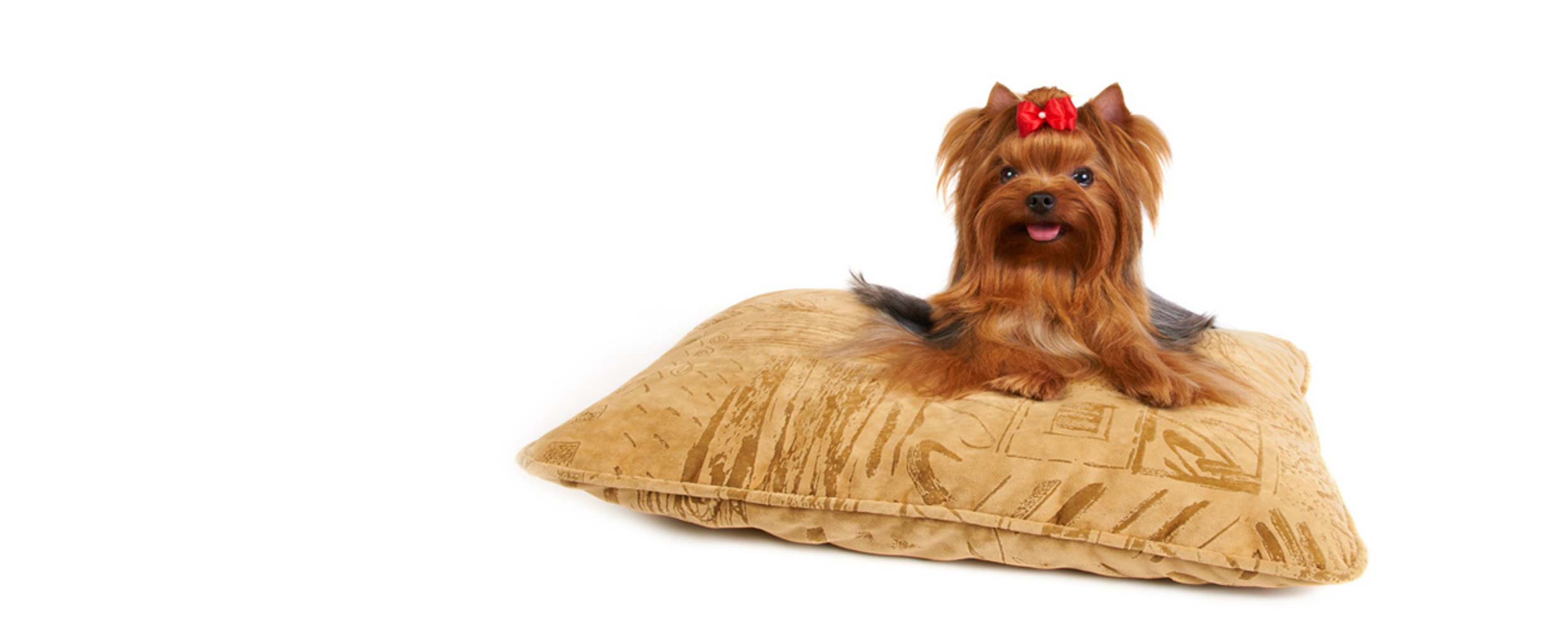 Groomed Yorkie on a cushion by Alison Roets