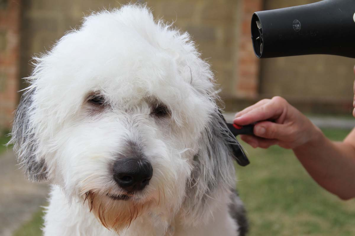 Alison Roets grooming an Old English Sheepdog