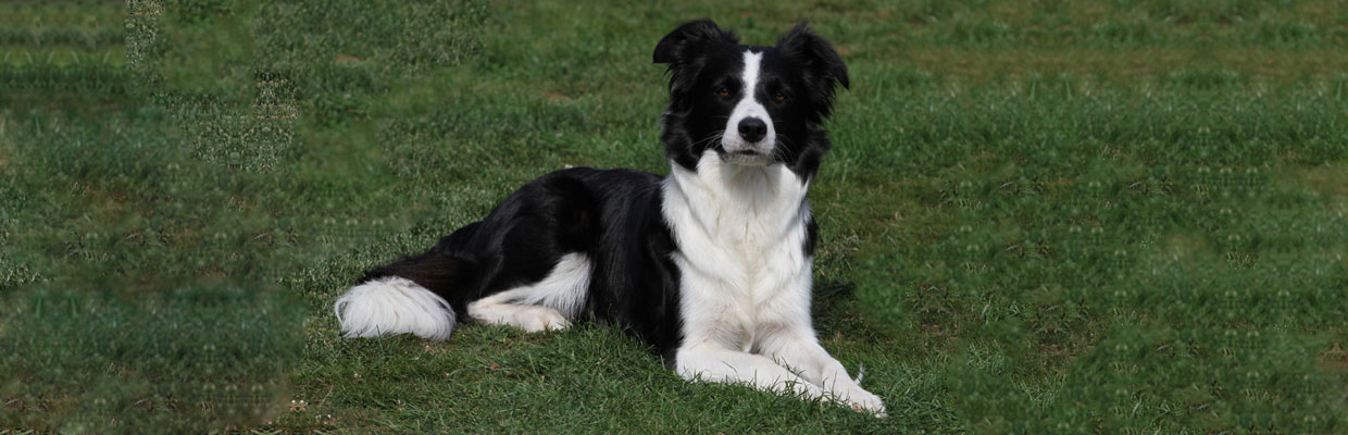 Freyasway Border Collie Kundalini on the lawn at Sulham farm, England
