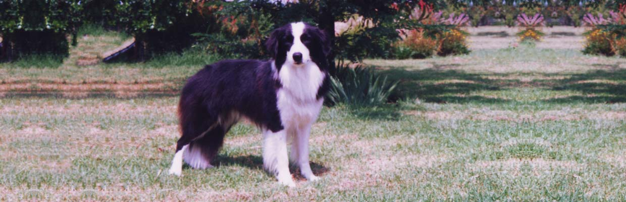 Freyasway Border Collie Odin in the garden at home in Halfway House, Johannesburg