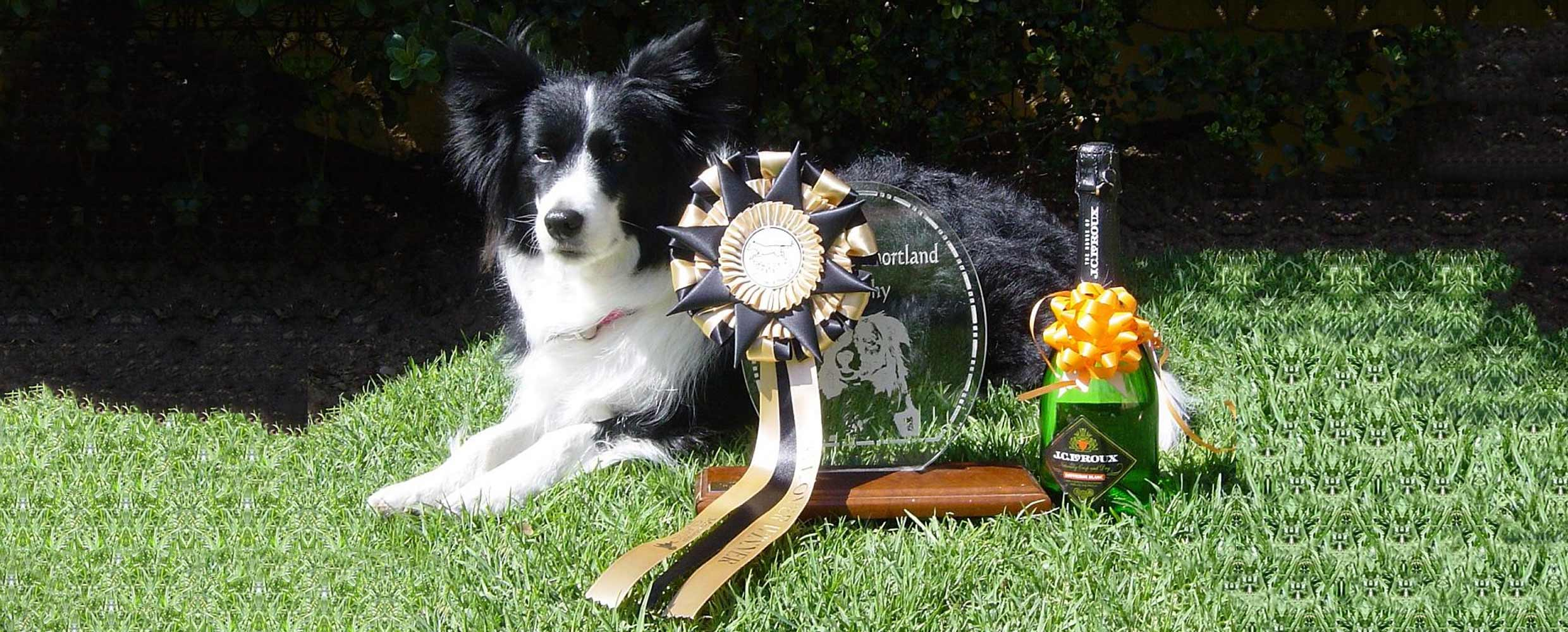 Freya the Border Collie with rosette and trophy