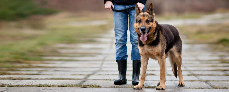 German Shepherd at heel with Alison Roets