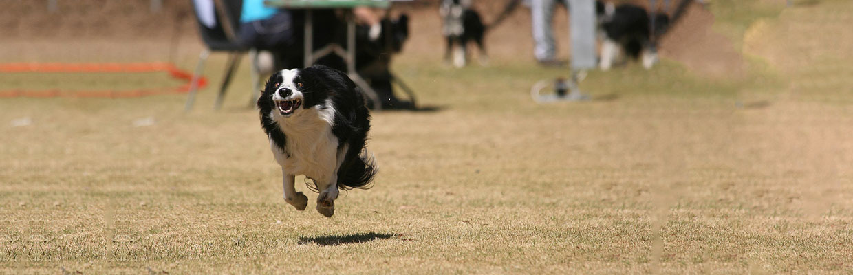 Freyasway Border Collie Ostara winning the 100m sprint at Goldfields, Johannesburg