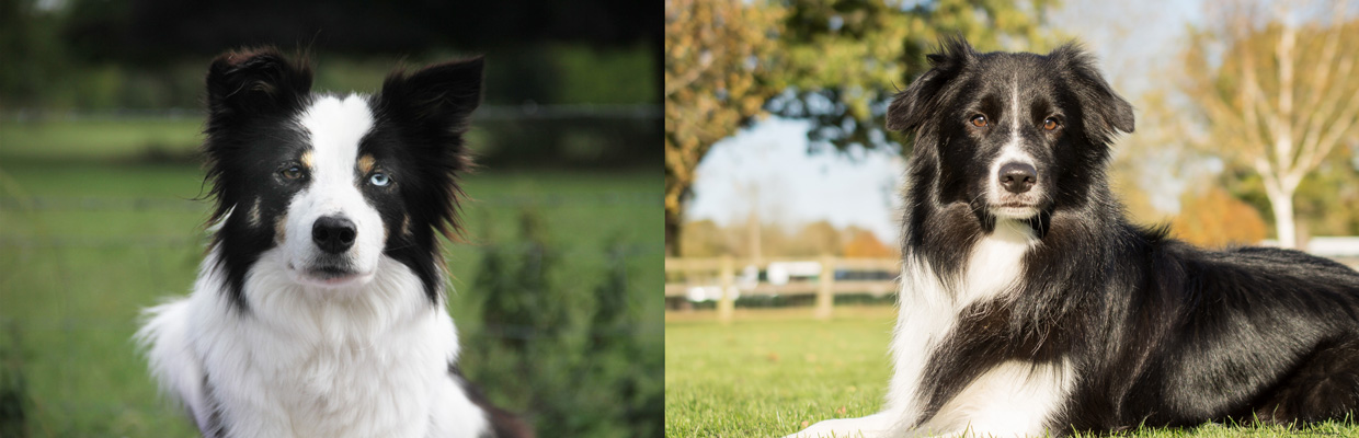 Freyasway Border Collies Talisker and Cole